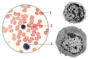 Мазок человеческой крови
