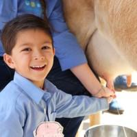 Восторженный мальчик учится доить корову